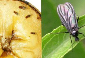 Как избавиться от мошек в доме? Лучшие способы и чего боятся эти насекомые